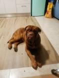 Dogo de burdeos en adopcion